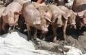 Một hộ dân ở Hậu Giang thiệt hại gần 8 tỷ đồng vì dịch tả heo châu Phi