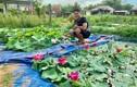Độc nhất Việt Nam: 9X đào 20 hồ quanh nhà trồng 40 loài sen hiếm