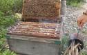 Nông dân thu cả trăm triệu 1 tháng nhờ chiêu luyện ong mật cực độc đáo