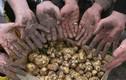Chỉ là củ khoai tây mà giá 25 triệu đồng/kg: Giống khoai này có gì đặc biệt?