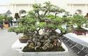 Choáng váng chậu bonsai bé tin hin, giá siêu khủng