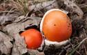 Loại nấm giống hệt quả trứng gà giá gần nửa triệu đồng/kg có gì đặc biệt?