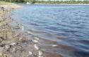 Cá chết hàng loạt ở hồ đập nghi do ô nhiễm nước xả thải từ trang trại lợn