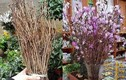 Hoa đỗ quyên ngủ đông tái xuất, bán tràn làn trên mạng