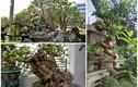 Đại gia Việt mê mẩn ổi bonsai độc nhất vô nhị giá tiền tỷ