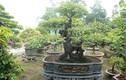 """Đại gia Việt """"dốc tiền tỷ"""" chơi bonsai khế, coi như """"báu vật"""" trong nhà"""