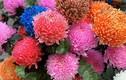 Hoa cúc mẫu đơn khổng lồ cả trăm nghìn/bông...dân tình đua nhau mua