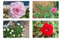 Lóa mắt vườn hồng trong biệt nghìn m2 của Vũ Thu Phương