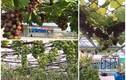 Mãn nhãn những vườn nho trên sân thượng sai trĩu quả