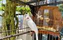 Mãn nhãn siêu phẩm chim cảnh cực độc, vài trăm triệu đồng/con