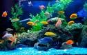 5 điều lưu ý khi nuôi cá cảnh trong nhà kẻo phạm phong thủy