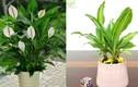 5 loại cây phong thủy sinh lộc, trừ tà cực tốt, nhà nào cũng nên có 1 chậu