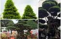 """Ngã ngửa giá những cây cảnh """"khủng"""" nhất Việt Nam"""