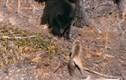 Video: Bị báo mẹ cho ăn no đòn, gấu đen sợ hãi trèo lên cây trốn
