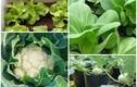 5 loại rau trồng ban công, Tết ăn không xuể