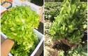 Sự thật về loại rau mầm đá Sa Pa chỉ 20.000 đồng/kg