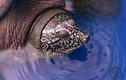 Cận cảnh cá thể rùa Hoàn Kiếm mới bẫy bắt tại hồ Đồng Mô