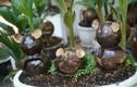 Mê mẩn loại bonsai được ưa chuộng dịp Tết, khách phải đặt trước nửa năm