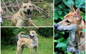 3 chú chó Phú Quốc đắt nhất Việt Nam có gì đặc biệt?