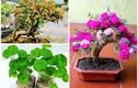 Ngỡ ngàng loạt cây dại thành bonsai chơi Tết