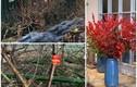 Độc lạ 4 loại đào gây sốt thị trường Tết Tân Sửu 2021