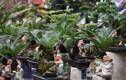 Bonsai vạn tuế mini đẹp, độc, lạ hút khách chơi Tết