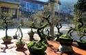 Mai trắng phủ rêu, thế lạ giá chục triệu/cây đổ bộ thị trường Tết