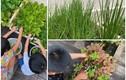 Mướt mắt vườn rau xanh tốt um trong biệt thự của Hà Tăng