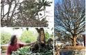 Mãn nhãn những cây mai trăm tuổi đắt ngang chung cư