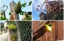 Nông dân sửng sốt với trái cây mọc ngoài quy luật tự nhiên