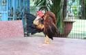 Giống gà lực sĩ thích mát-xa con nặng nhất chỉ 4 lạng... giá tiền triệu