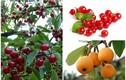 3 loại trái cây về Việt Nam tiền triệu, ở nước ngoài chỉ làm hàng rào