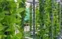 Mướt mắt vườn rau 2.000m2 trên nóc chung cư ở Sài Gòn