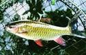 Các loại cá đặc sản tiến vua giờ đắt thế nào?
