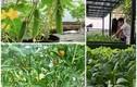 Những vườn rau sân thượng giúp mẹ đảm không cần đi chợ giữa mùa dịch