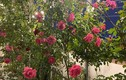 Trầm trồ vườn hồng trăm triệu trên sân thượng Phan Hiển tặng Khánh Thi