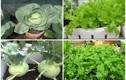 7 loại rau trồng ban công lên vùn vụt mùa thu