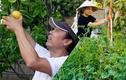 Mãn nhãn khu vườn hoa trái xum xuê của sao Việt ở Mỹ