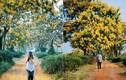 """Ngỡ như lạc lối ở  """"xứ Hàn"""" khi mùa hoa muồng nở vàng trời Gia Lai"""