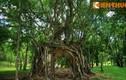 Cây cổ thụ cực lạ lùng ở lăng vua Minh Mạng