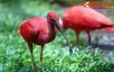 Ngắm loài chim đỏ lòm như tắm máu ở Sài Gòn