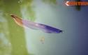 Ngắm cá rồng bạc triệu trong hồ nước Tử Cấm Thành Huế