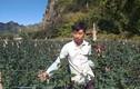 Bỏ thủ đô lên núi trồng hoa hồng, trai trẻ 9x phất trông thấy