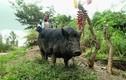 Vì sao người Papua New Guinea cực sùng bái loài lợn?