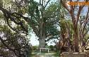 Điểm danh những cây xoài cổ thụ độc đáo khắp VN