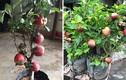 """Mua táo bonsai về trưng Tết, """"ngã ngửa"""" khi thấy nở hoa dâm bụt"""