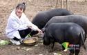Giữa cơn sốt thịt lợn, ông bố tặng 300 con lợn cho ai lấy con gái mình