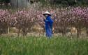Hàng nghìn gốc đào không thể tiêu thụ, chờ giải cứu ở Chí Linh