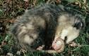 Loài vật nào giả chết điêu luyện nhất quả đất?