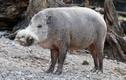 Soi các loài lợn hoang dã kỳ lạ, có loài nhỏ như con mèo